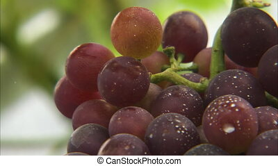 Closing up on round purple grapes - A close up detailed shot...