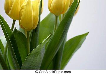 closuep, von, a, gelbe tulpe