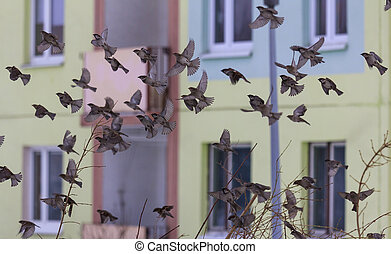 A big flock of city sparrows startled to flight