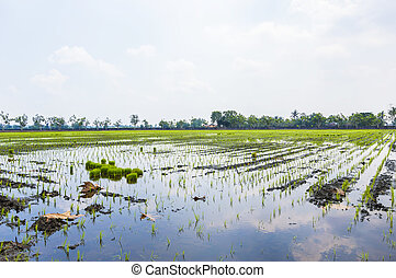 Cloud reflection on paddy field
