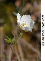 Cloudberry flower on a bog in the spring