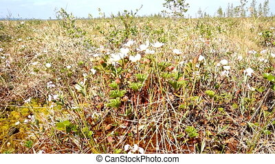 Cloudberry flowers in the Arctic high bog