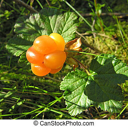 Cloudberry - South Karelia, beginning of August, cloudberry....