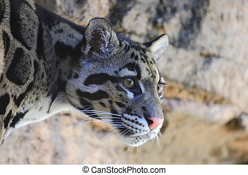 Clouded Leopard - A close up view of a clouded leopard,...