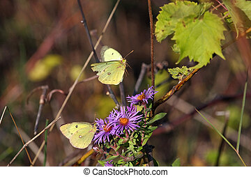 Clouded Sulphur Butterfly on new england aster flower