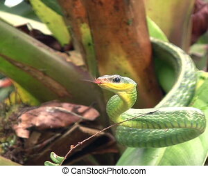 Cloudforest whipsnake (Chironius mo - in cloudforest, ...