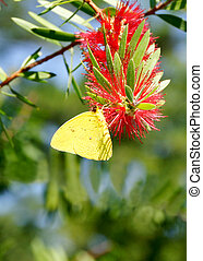 A cloudless sulfer butterfly on a red flower.