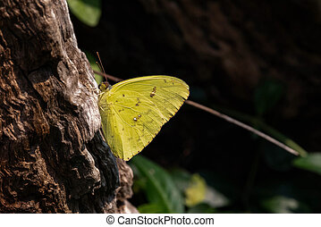 Cloudless Sulphur Butterfly - Cloudless Sulphur sitting on a...