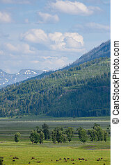 Clouds hover over bison in Lamar Valley