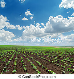 clouds in blue sky over field with sunflowers