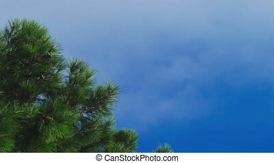 Clouds moving along the blue clear sky, pine branch close-up. 4k. time lapse