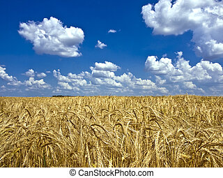 clouds over a field of barley