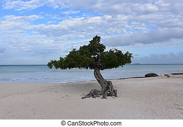 Divi tree with clouds over Eagle Beach in Aruba.