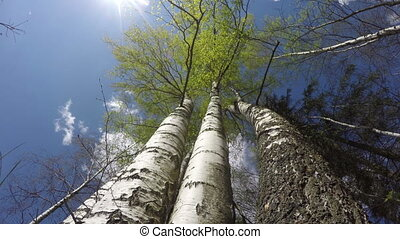 Cloudscape with birch trees, time lapse 4K - Landscape with...