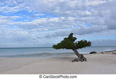 Cloudy Day on Eagle Beach with a Divi Tree
