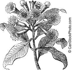 clous girofle, gravure, vendange, syzygium, aromaticum, ou