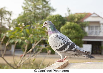 clouse up full body side view of pigeon bird perching on home loft tab