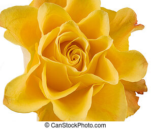 Clouse up of yellow rose on the white