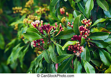 Clove tree with spicy raw flowers and sticks - Clove tree...