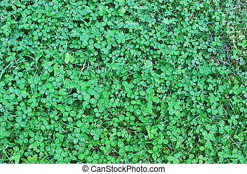 Clover also known as the Shamrock, the traditional Irish ...