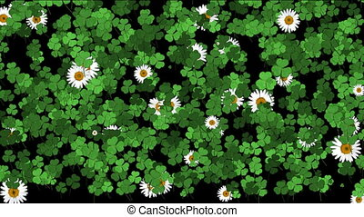 clover and daisies blooming