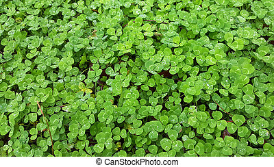 Clover background in field with water drops