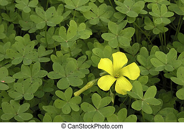 Clover Batch with yellow Flower