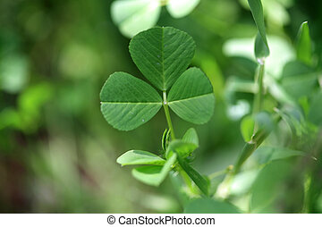 clover - beauty in nature