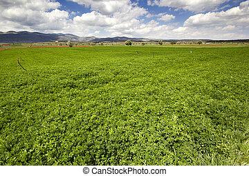 clover field under cloudy sky