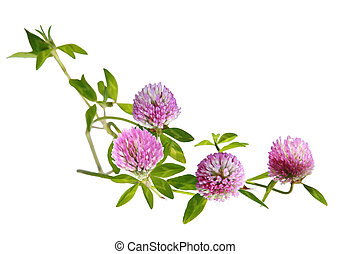 Clover Flower - Clover flowers on branch isolated on white...