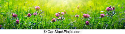 Clover flowers field in sunset. Nature meadow background.