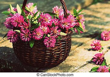 Clover flowers in a basket. Herbs harvesting of medicinal...