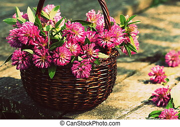Clover flowers in a basket. Herbs harvesting of medicinal...