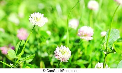 Clover In The Wild Field Of Green Grass - Flowering herbs...