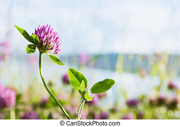 Clover on a bright green background