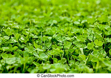 Clover Patch - a side view of a clover patch
