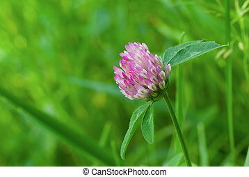 Clover plant in wild field at spring time