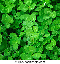 Clover plants - Spring green clover (shamrock) leaves to St....