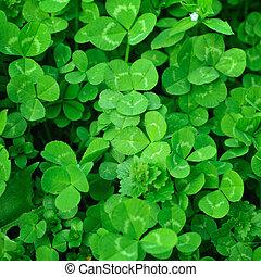 Clover plants - Spring green clover (shamrock) leaves to St...