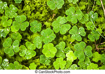 Clover shaped oxalis with dew - Clover shaped sorrel foliage...