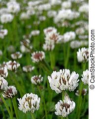 Clover - White clover