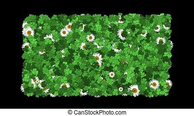 clover & white daisy.