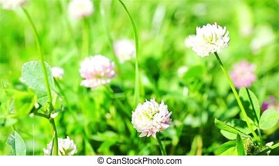 Clover Wildflowers In The Wind - clover wildflowers in the...