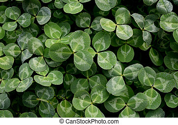 Clover with dewdrop
