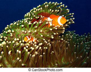 clown-anemonefish, indonesia, occidental, isla, martatua