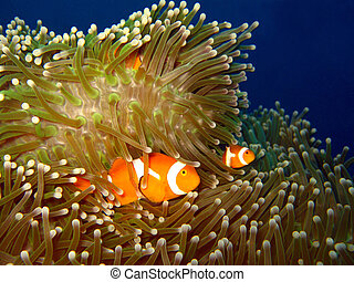 clown-anemonefish, indonesia, occidental, isla, martatua
