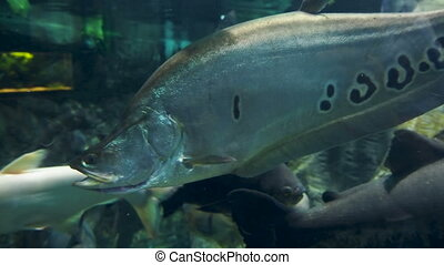 Clown featherback, clown knifefish, or spotted knifefish,...