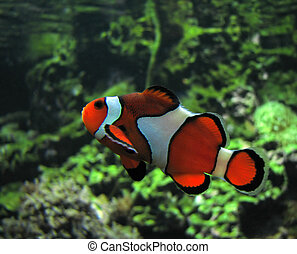 Clown Fish (Amphiprion Ocellaris)