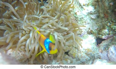 Clown-fish Amphiprioninae protecting it's anemone Red Sea Egypt