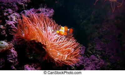 Clown Fish Anemone